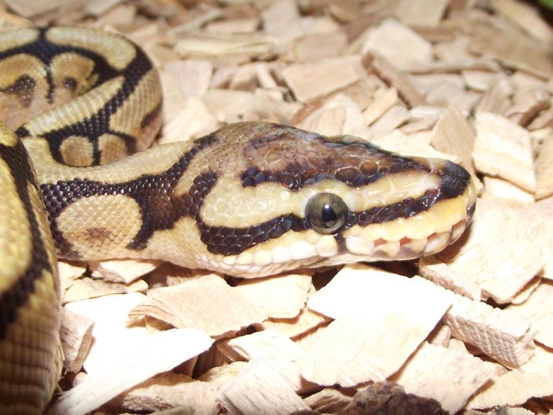 Mes python Morelia spilota et regius  Dscf3230