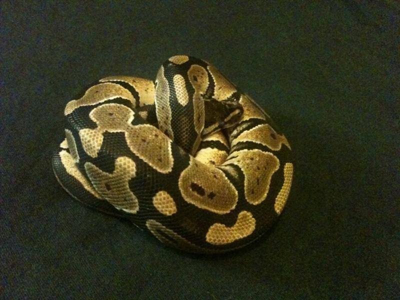 Mes python Morelia spilota et regius  Img_1319