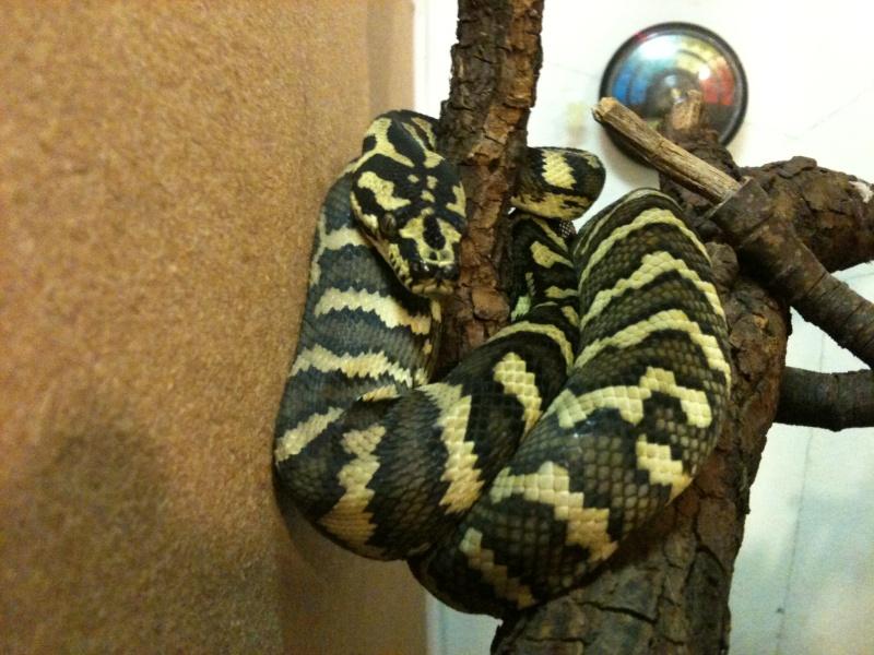 Mes python Morelia spilota et regius  Img_1321