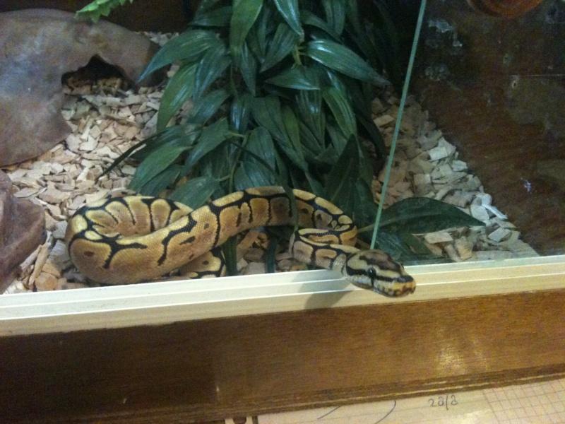 Mes python Morelia spilota et regius  Img_1710
