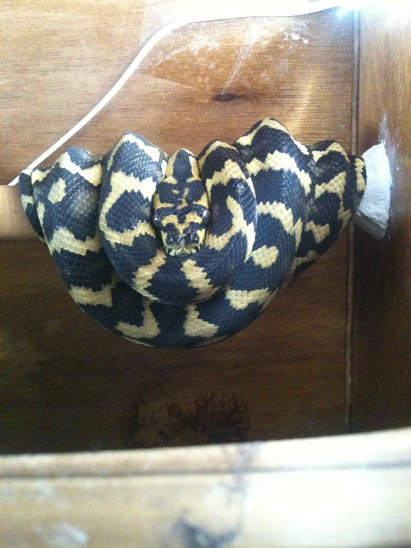 Mes python Morelia spilota et regius  Img_1711