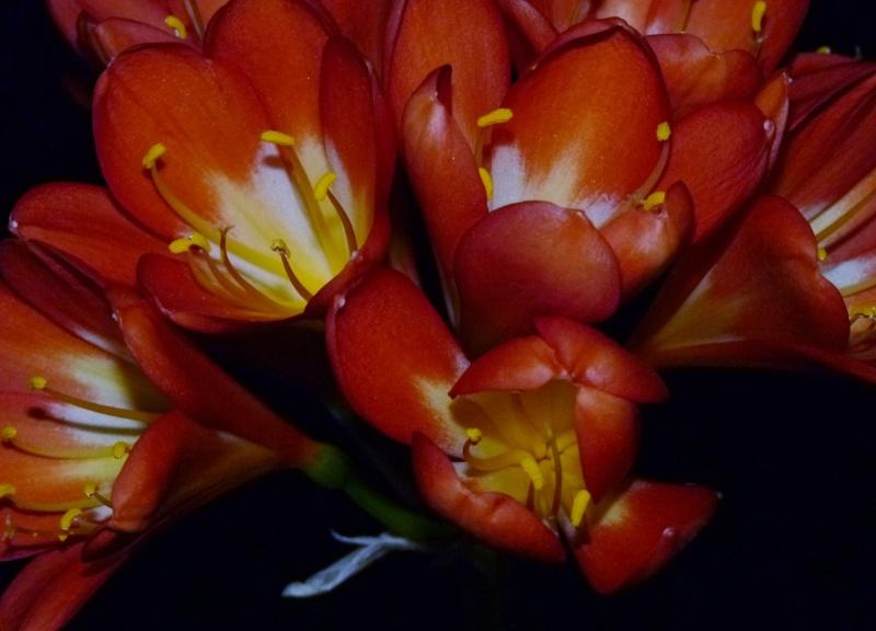 Amaryllisgewächse - Amaryllidaceae (Hippeastren, Nerine, Amaryllis, Agapanthus und auch Allium & Narzissen) - Seite 3 00118