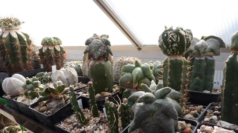 Astrophytum Cultivars  00216