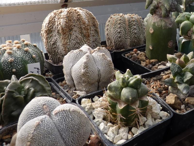 Astrophytum Cultivars  00317
