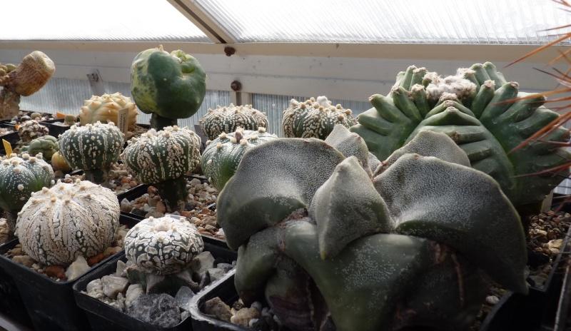 Astrophytum Cultivars  00417