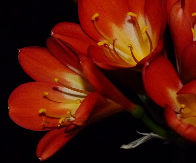 Amaryllisgewächse - Amaryllidaceae (Hippeastren, Nerine, Amaryllis, Agapanthus und auch Allium & Narzissen) - Seite 3 00419
