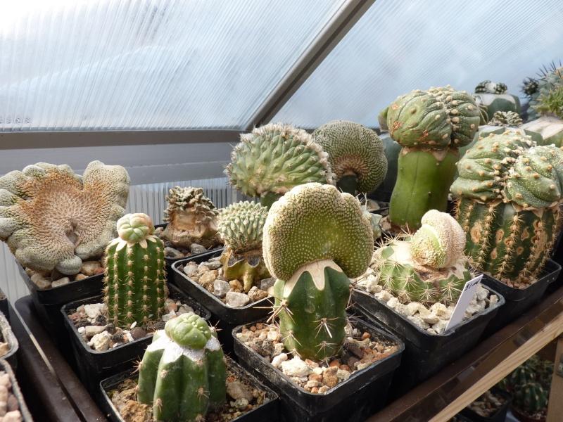 Astrophytum Cultivars  00515