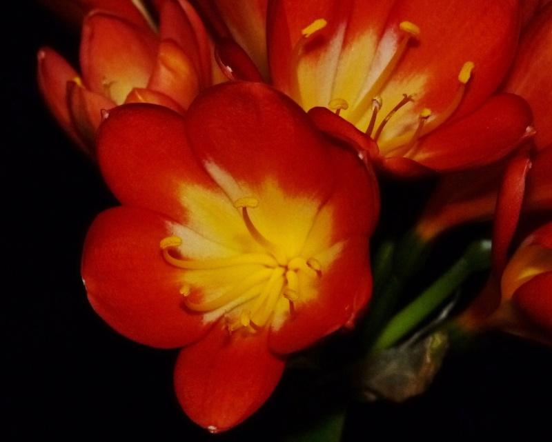 Amaryllisgewächse - Amaryllidaceae (Hippeastren, Nerine, Amaryllis, Agapanthus und auch Allium & Narzissen) - Seite 3 00518