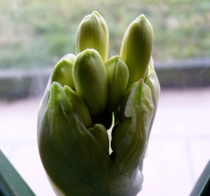 Amaryllisgewächse - Amaryllidaceae (Hippeastren, Nerine, Amaryllis, Agapanthus und auch Allium & Narzissen) - Seite 3 00713
