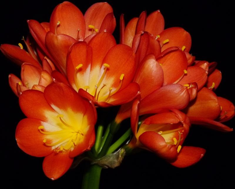 Amaryllisgewächse - Amaryllidaceae (Hippeastren, Nerine, Amaryllis, Agapanthus und auch Allium & Narzissen) - Seite 3 00720
