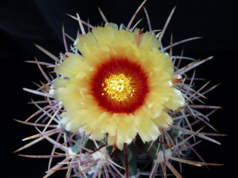Echinocactus parryi is flowering 00733