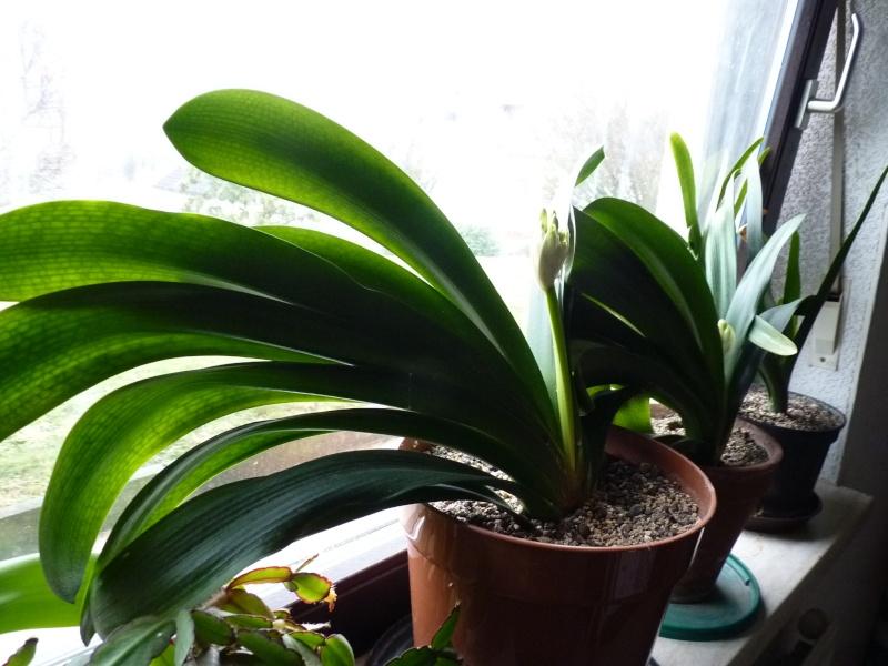 Amaryllisgewächse - Amaryllidaceae (Hippeastren, Nerine, Amaryllis, Agapanthus und auch Allium & Narzissen) - Seite 3 00813