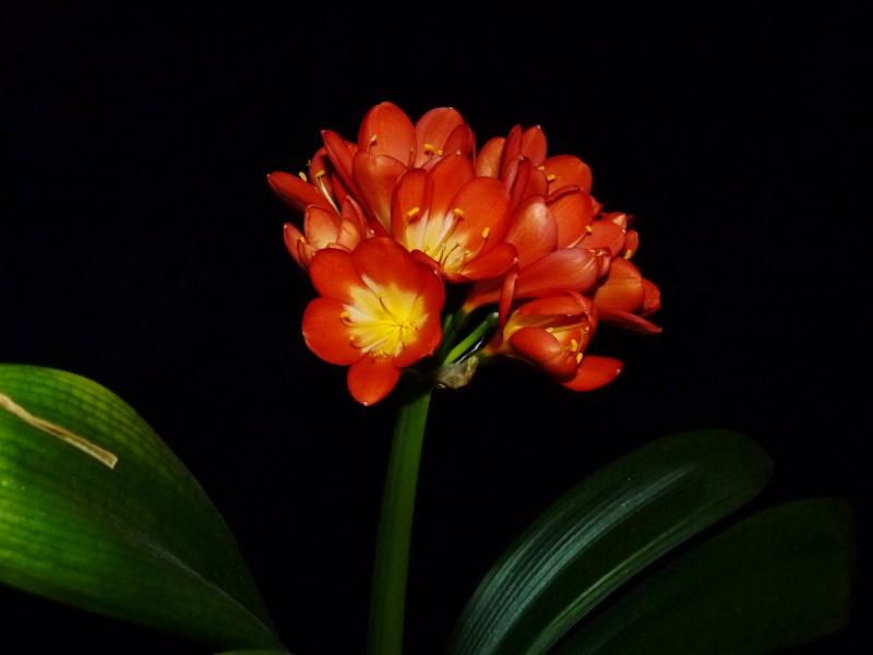 Amaryllisgewächse - Amaryllidaceae (Hippeastren, Nerine, Amaryllis, Agapanthus und auch Allium & Narzissen) - Seite 3 01020