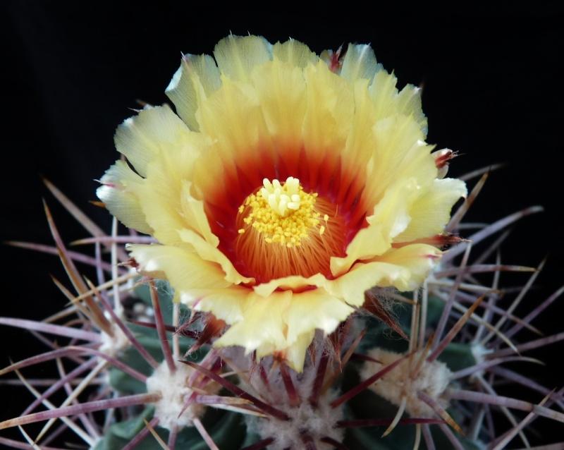 Echinocactus parryi is flowering 01130