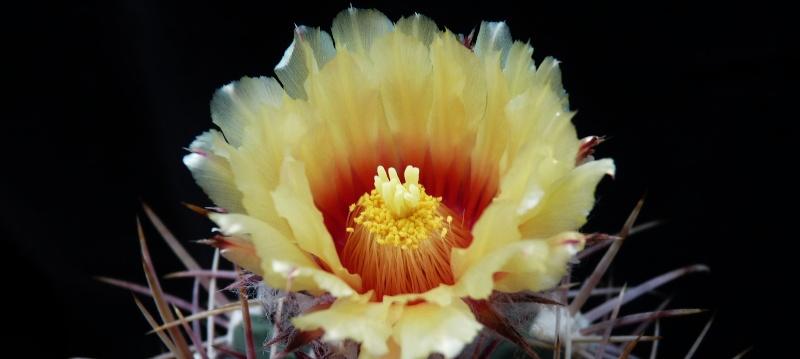 Echinocactus parryi is flowering 01628