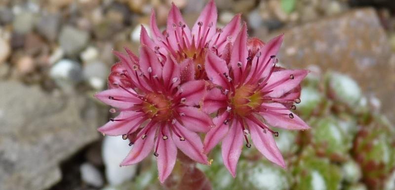Begleitpflanzen der Kakteen in Haus und Garten - Seite 5 06513