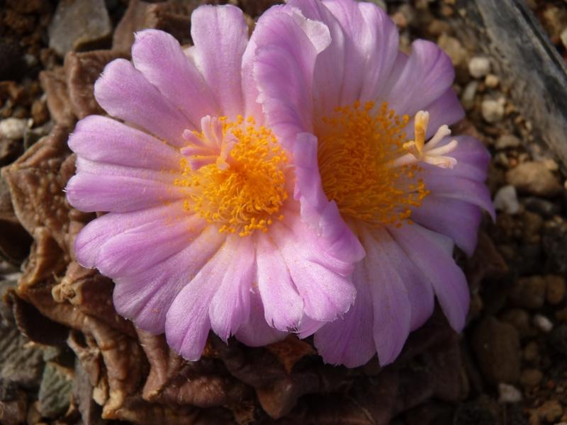 Ariocarpus intermedius P1060639