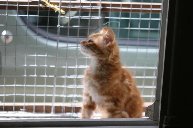 adopté hebus chaton male roux poil long 2ms 04/06 Chato266
