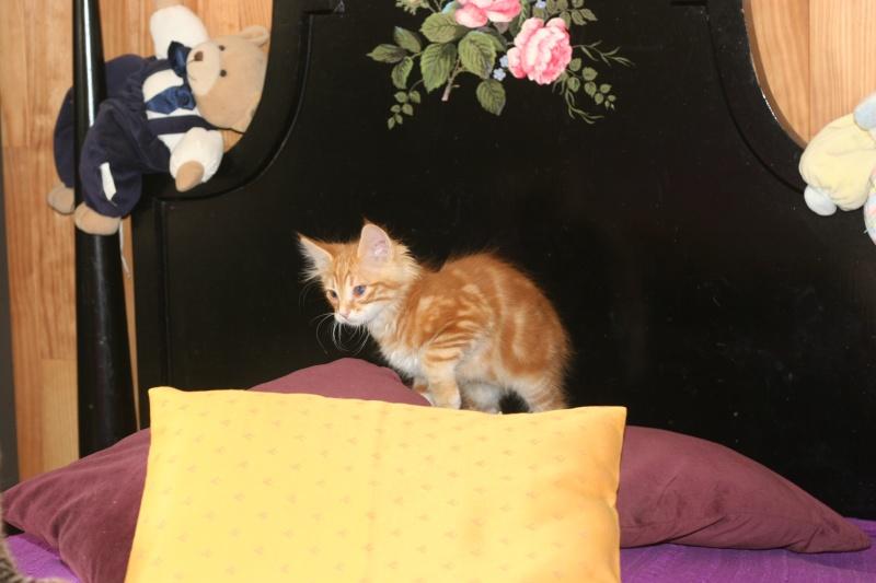 adopté hebus chaton male roux poil long 2ms 04/06 Chien123