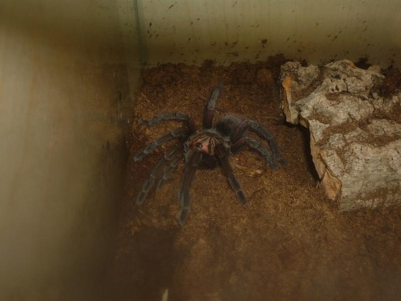 Pamphobeteus nigricolor P1060820