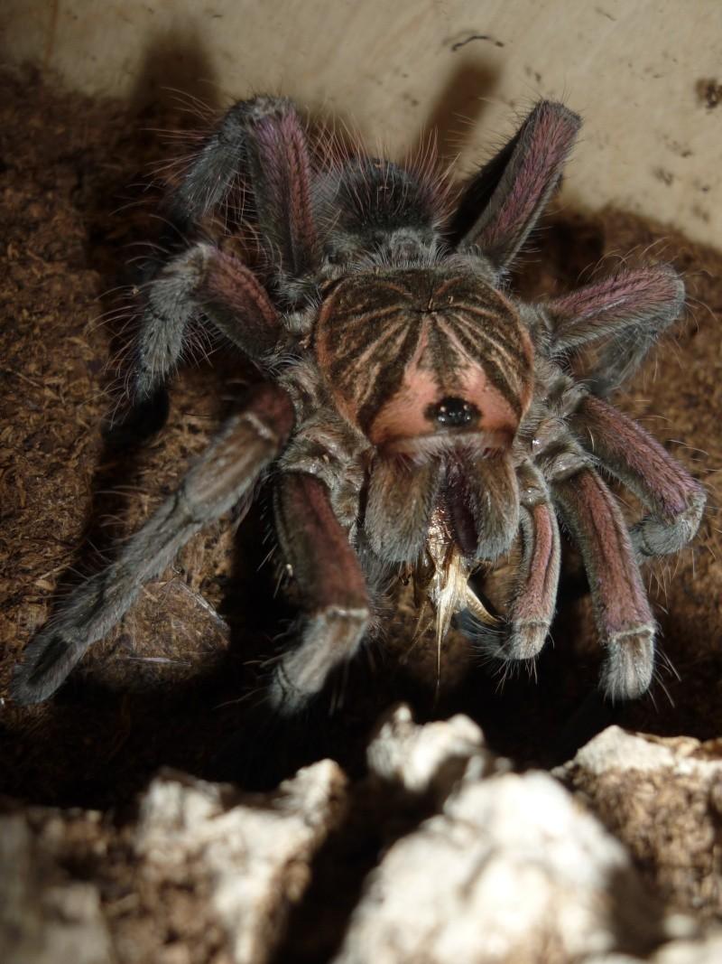 Pamphobeteus nigricolor P1070311