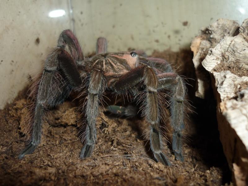 Pamphobeteus nigricolor P1070312