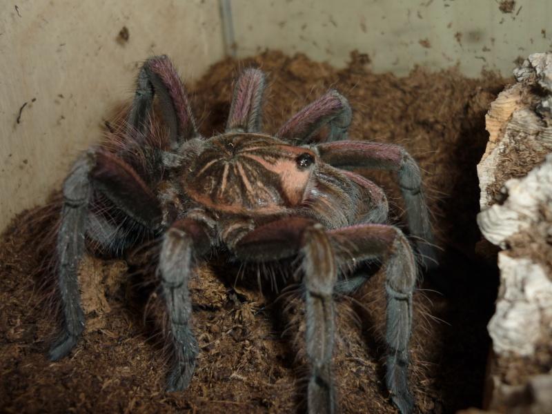 Pamphobeteus nigricolor P1070313
