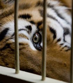 Les zoos, des structures qui restent inadaptées pour protéger les animaux Tigre_10
