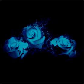 La fleur de Rose Cyan10