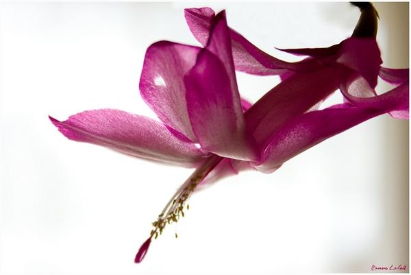 ACTU : Photos de Cactus de Pâques. Cactus10