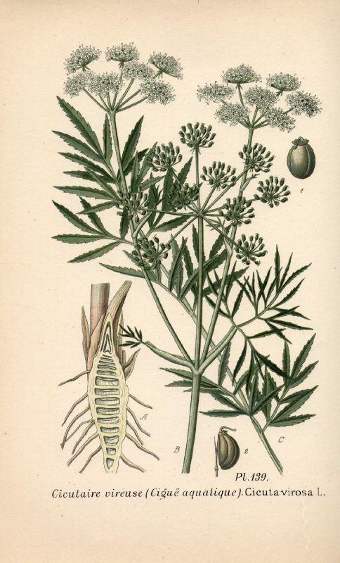 Quelle est donc cette plante (sans doute de la famille des apiacées) 00399710