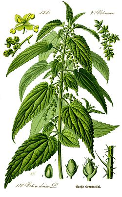 [Plante] L'ortie - Page 2 250px-10