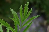 Quelle est donc cette plante (sans doute de la famille des apiacées) Feuill10