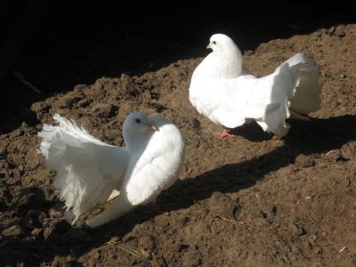 J'ai enfin mes premiers pigeons Img_3210