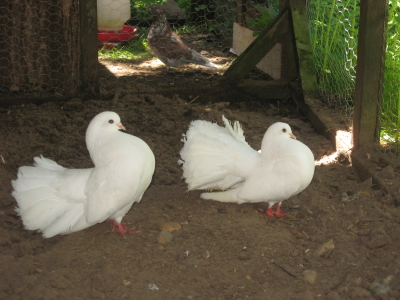 J'ai enfin mes premiers pigeons Img_3211