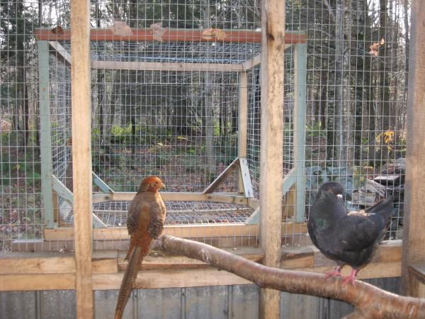 J'ai enfin mes premiers pigeons Img_3511