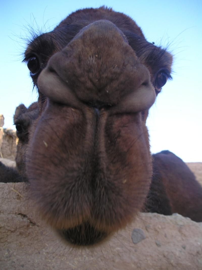 Bradou - Page 2 Camel_10