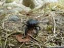 [Lucanus cervus] scarabée en correze P1060815