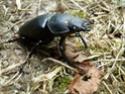 [Lucanus cervus] scarabée en correze P1060911