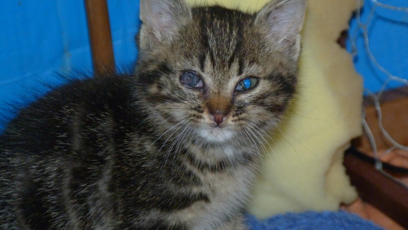 GABY, chatonne tigrée noir et blanche, née en 2011 Gabby_11