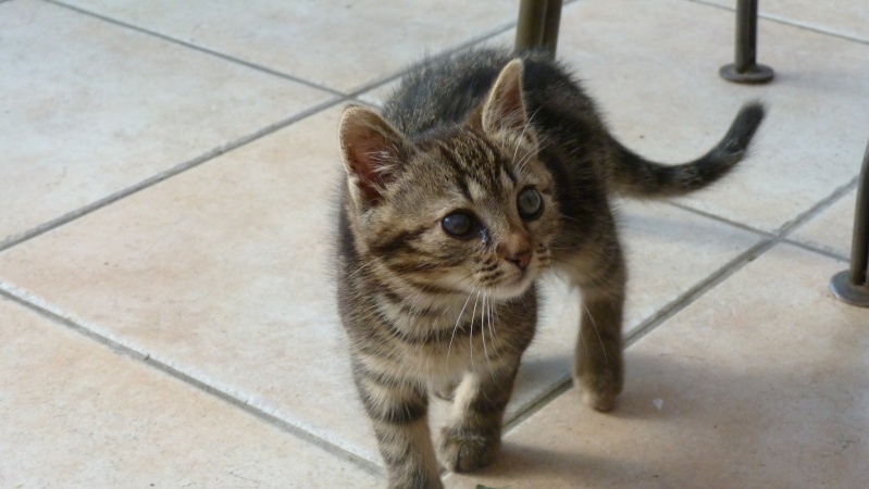 GABY, chatonne tigrée noir et blanche, née en 2011 Gaby_311