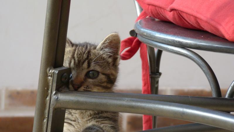 GABY, chatonne tigrée noir et blanche, née en 2011 Gaby_312