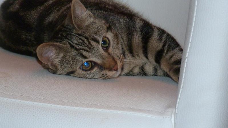 GABY, chatonne tigrée noir et blanche, née en 2011 P1000710