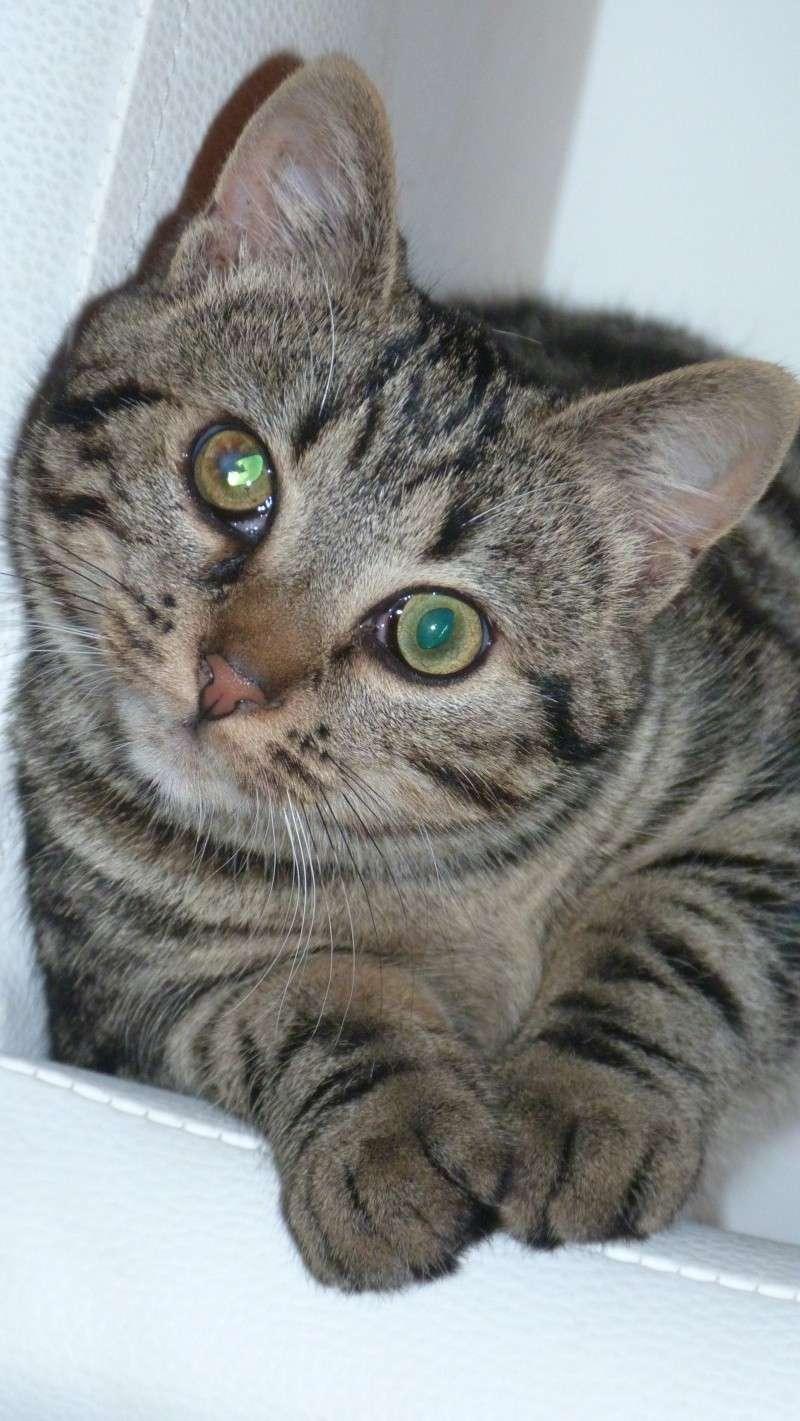 GABY, chatonne tigrée noir et blanche, née en 2011 P1000711