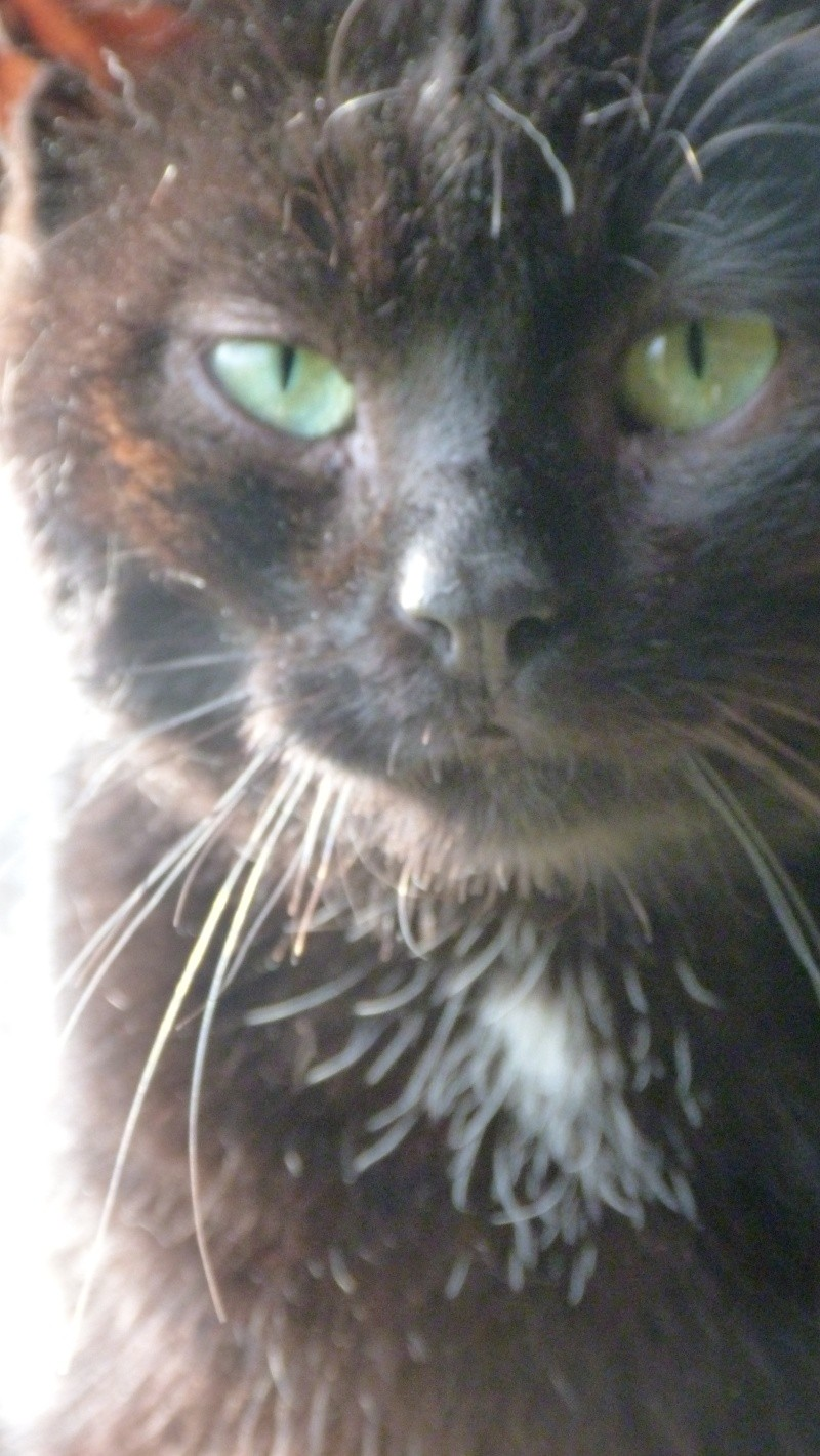 ARTHUR, jeune chat noir né en oct. 2010 Sarie_10