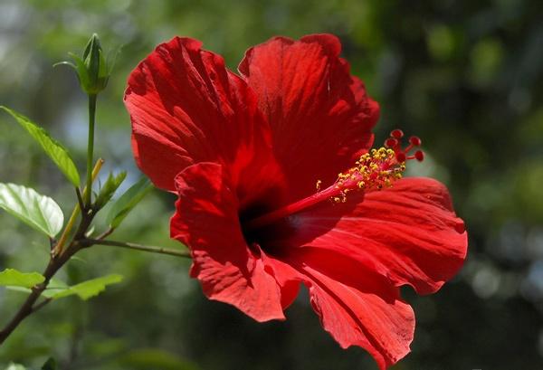 L'Alphabet de la Flore Hibisc10