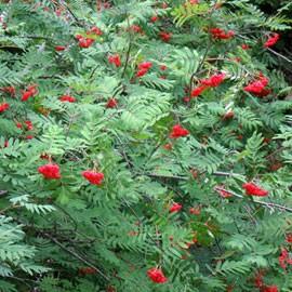 L'Alphabet de la Flore Sorbus10