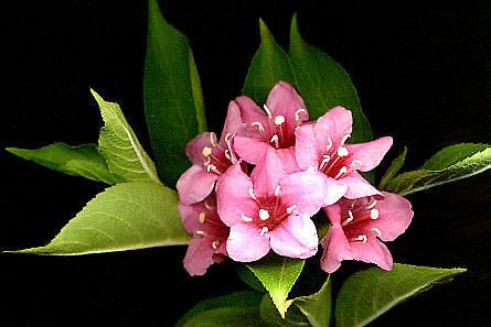 L'Alphabet de la Flore Weigel10