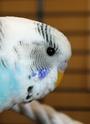 Je vous présente mes premières perruches 2012_011