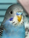 Je vous présente mes premières perruches 2012_012